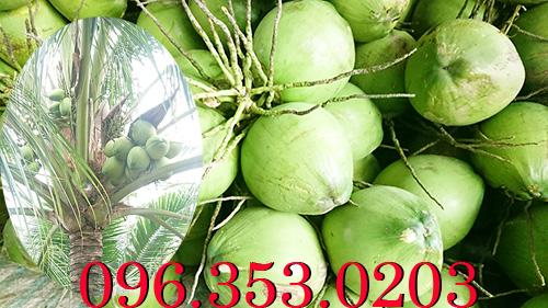 Vựa dừa lớn nhất bến tre miền tây cung cấp dừa xiêm xanh